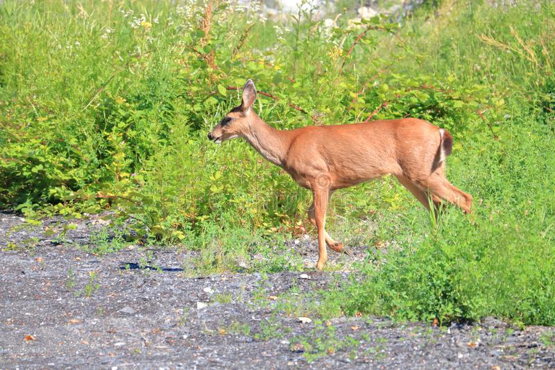 Wild Blacktail Female Deer stock photography