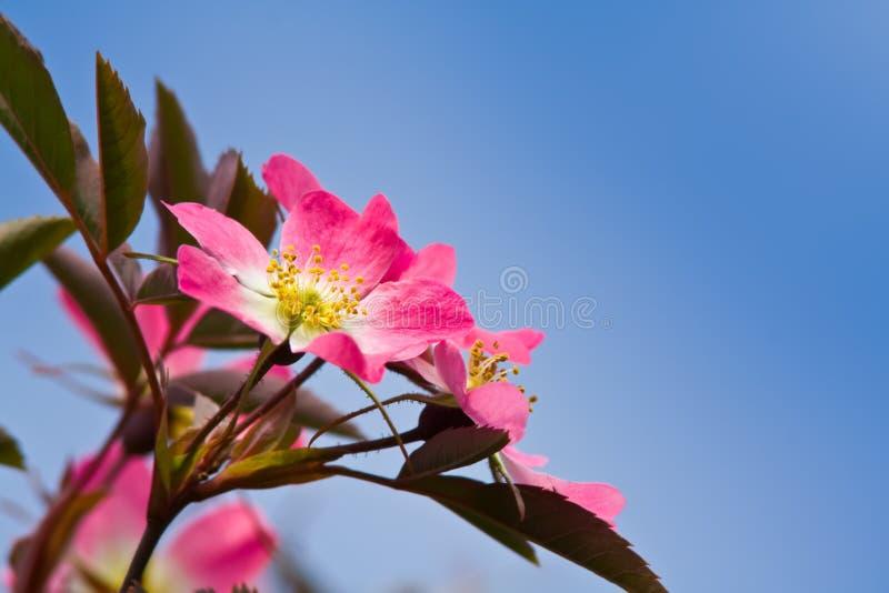 wild blommapinkrose arkivfoto