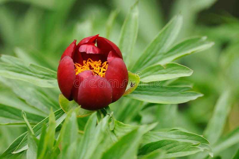 wild blomningpion royaltyfria foton