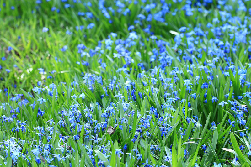 Wild blu flowers. In the field royalty free stock photo