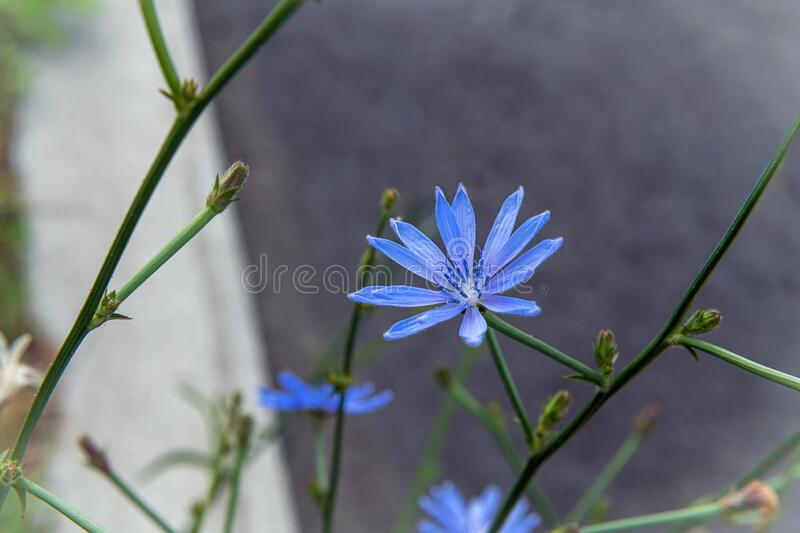 Wild Blue Flower royalty free stock photos