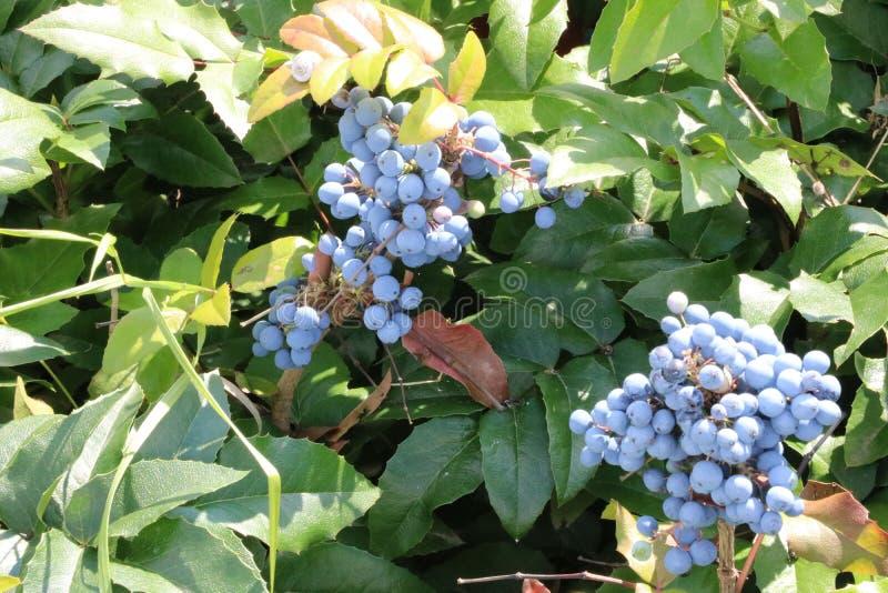 Wild blue grape royalty free stock photography