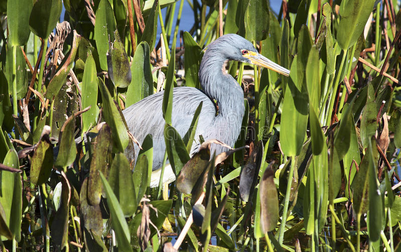 Wild Blue Heron royalty free stock image