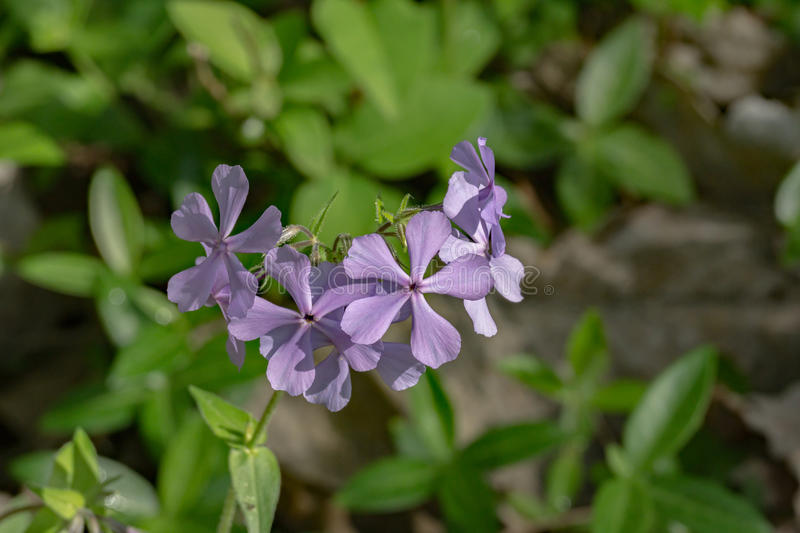 Wild Blue Phlox – Phlox divaricate. Wild Blue Phlox, also called Wild Sweet William, a native perennial grows in rich woods, fields and stream banks stock photo