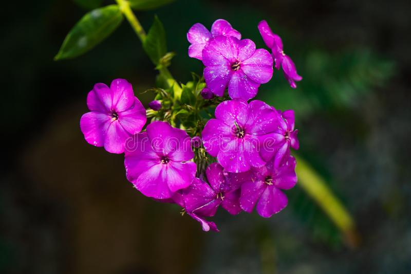 Wild Blue Phlox, Phlox divaricate. Wild Blue Phlox, also called Wild Sweet William, grows in rich woods and fields stock photography