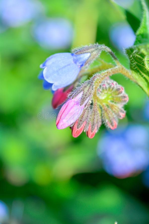 Wild blue, purle, pink flowers like bell and buds on summer meadow. Wild flowers stock image