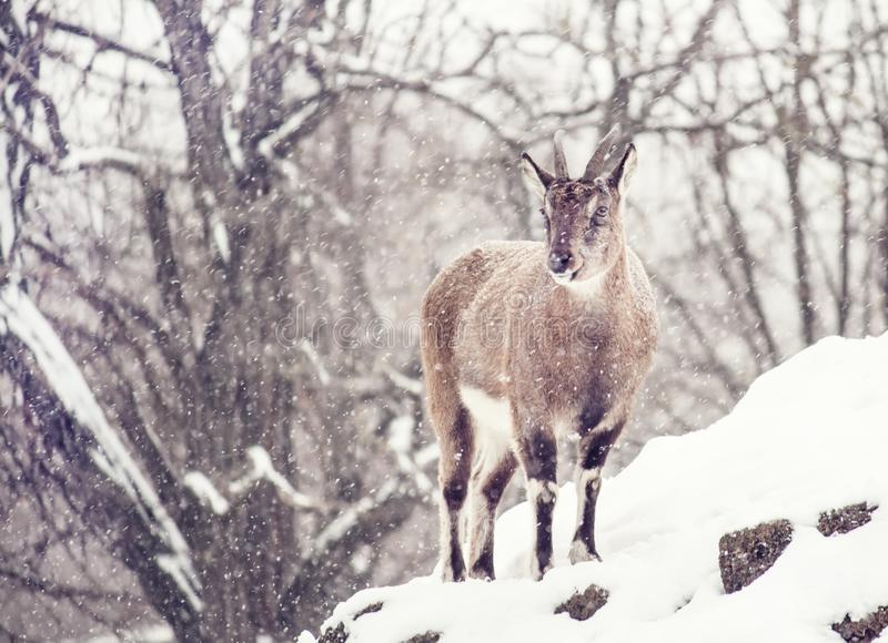 Wild blue sheep Pseudois nayaur under the snow on a cloudy wint. Er day in the rock, selective focus royalty free stock photo