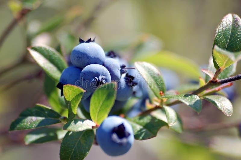 Wild Blueberries stock image