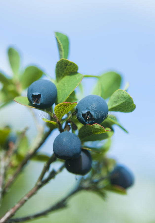 Download Wild blueberries stock photo. Image of nature, blueberry - 12911212