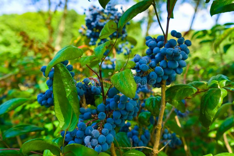 Wild blueberries growing in the city park stock photo