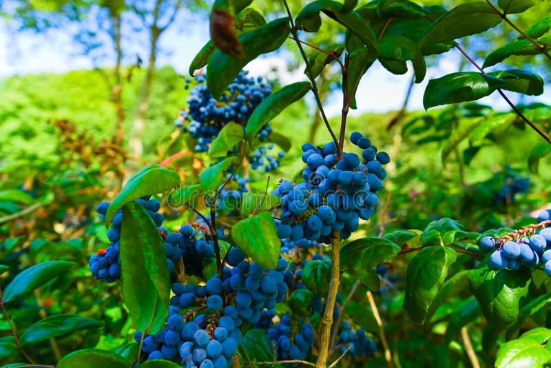 Wild blueberries growing in the city park royalty free stock image