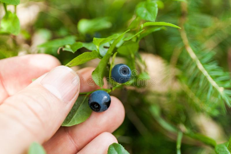 Wild blueberry plant in forest, fresh berry harvest on shrub. Blue antioxidant delicious fruit.  stock photos