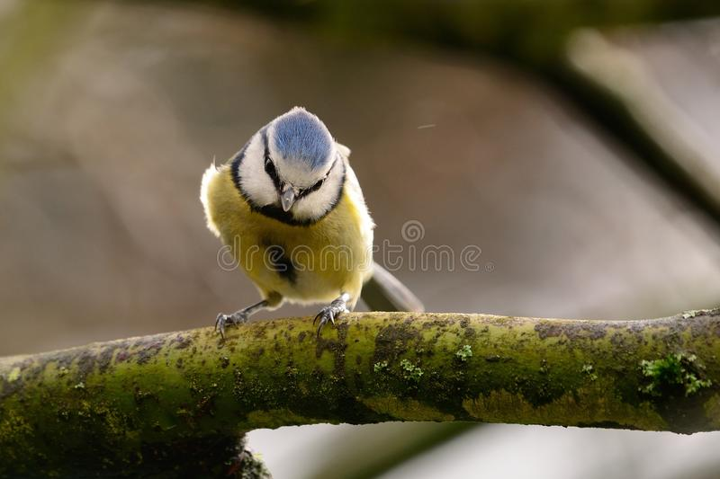 Wild bluetit in a tree stock images