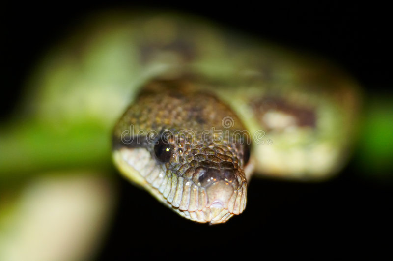 Download Wild boa stock photo. Image of branch, dangerous, wild - 575004