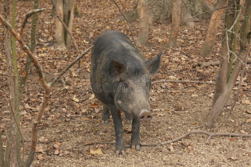 Download Wild Boar Royalty Free Stock Image - Image: 11772496