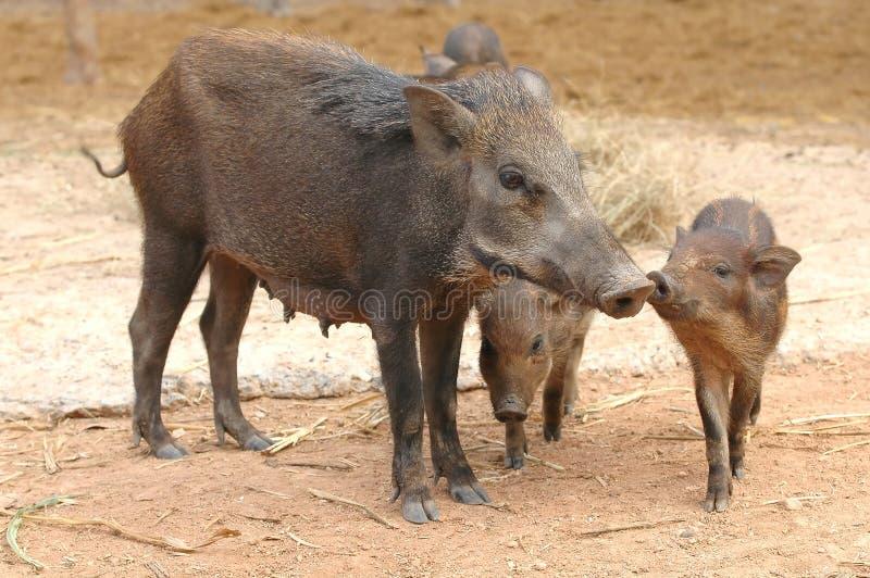 Download Wild boar stock image. Image of danger, wildlife, hair - 17613709