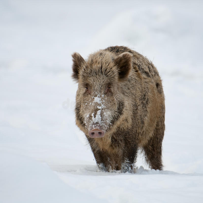 Download Wild boar stock image. Image of forest, animal, wild - 18085405