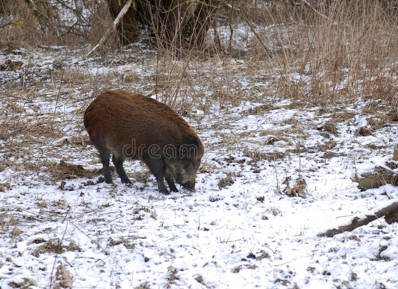Download Wild boar stock image. Image of field, nature, forward - 18662749
