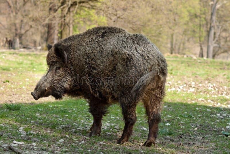 Download Wild boar stock photo. Image of closeup, predator, meat - 19288852