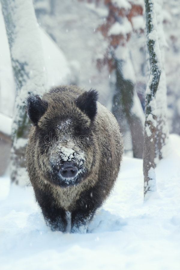 Wild-boar 2. royalty free stock photography