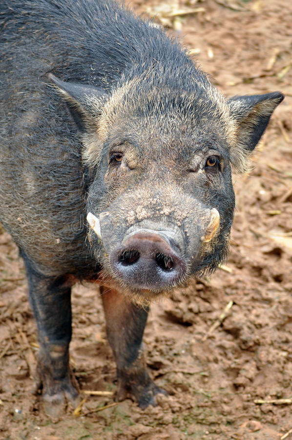 Download Wild boar stock photo. Image of face, creature, colorful - 20887598