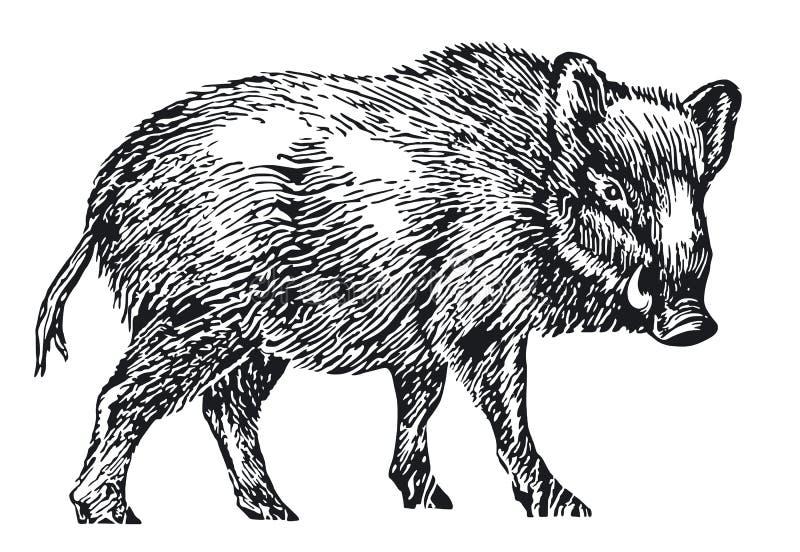 Wild boar. Isolated on white illustration royalty free illustration