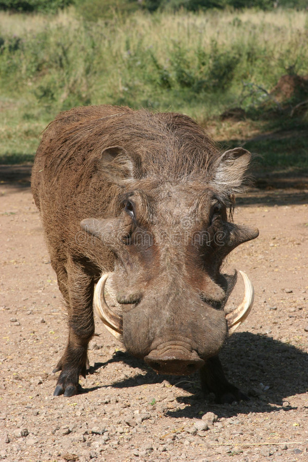 Free Wild Boar Stock Photography - 224952