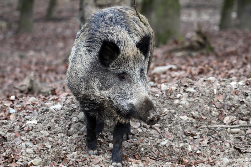 Download Wild Boar stock image. Image of animal, predator, forest - 22972795