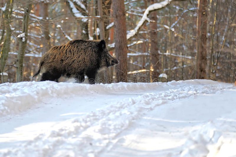 Download Wild Boar Royalty Free Stock Images - Image: 23248319