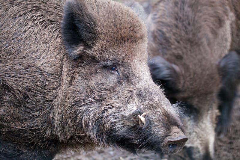 Download Wild boar stock photo. Image of hunt, closeup, quadruped - 23386668