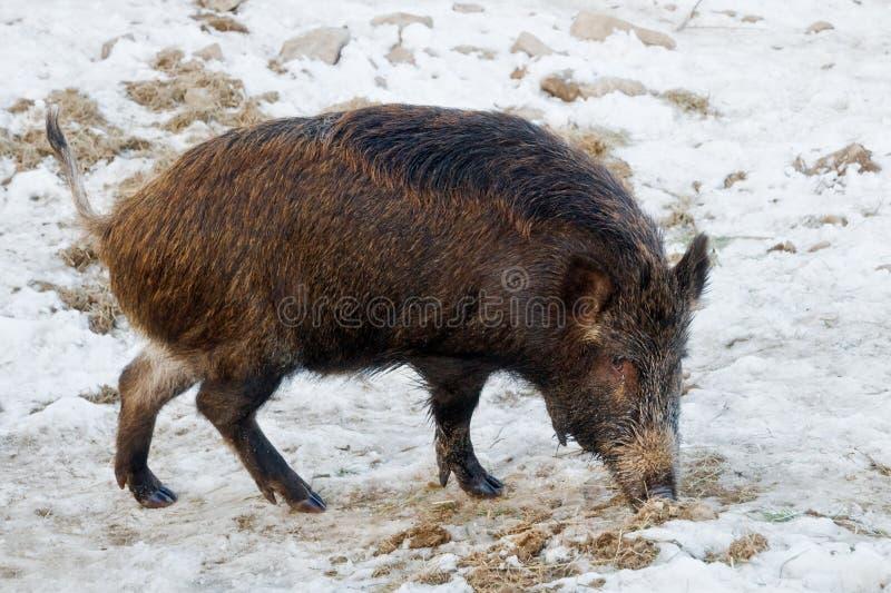Download Wild boar stock image. Image of wildlife, nature, wild - 23754071
