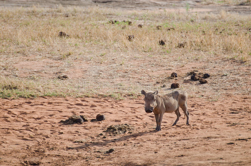 Download Wild Boar Royalty Free Stock Photography - Image: 24396747