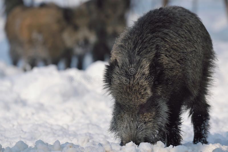 Download Wild boar stock photo. Image of omnivores, animal, outside - 26351772