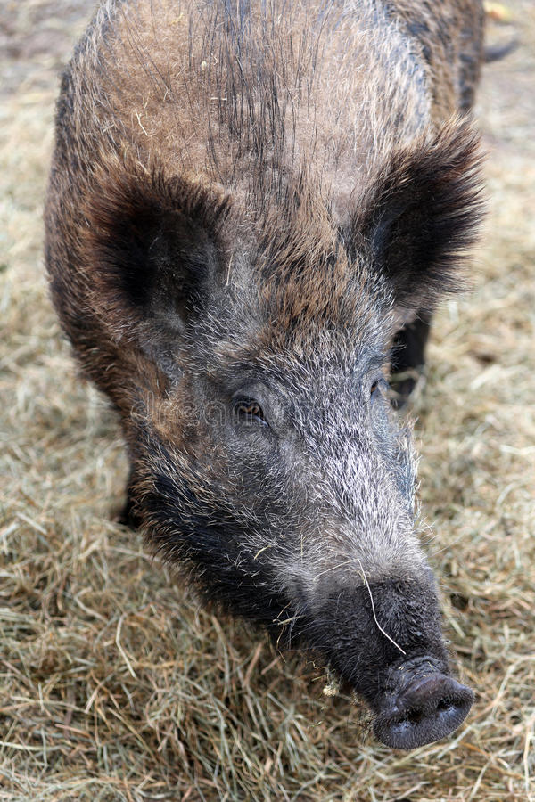 Download Wild Boar stock photo. Image of predatory, park, national - 26898712