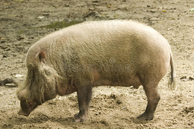 Download Wild boar stock photo. Image of hairy, black, life, hunt - 26926850