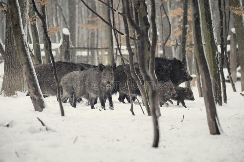 Download Wild Boar Royalty Free Stock Images - Image: 27626639