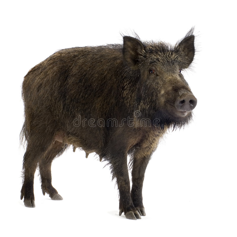 Free Wild Boar Stock Photography - 2780242