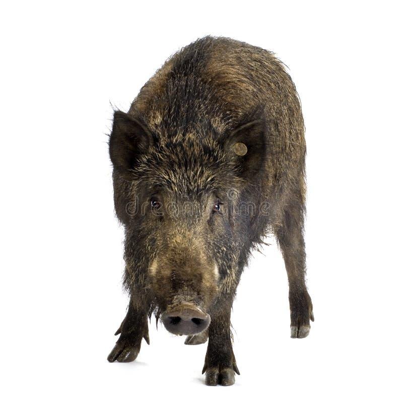 Wild boar hair