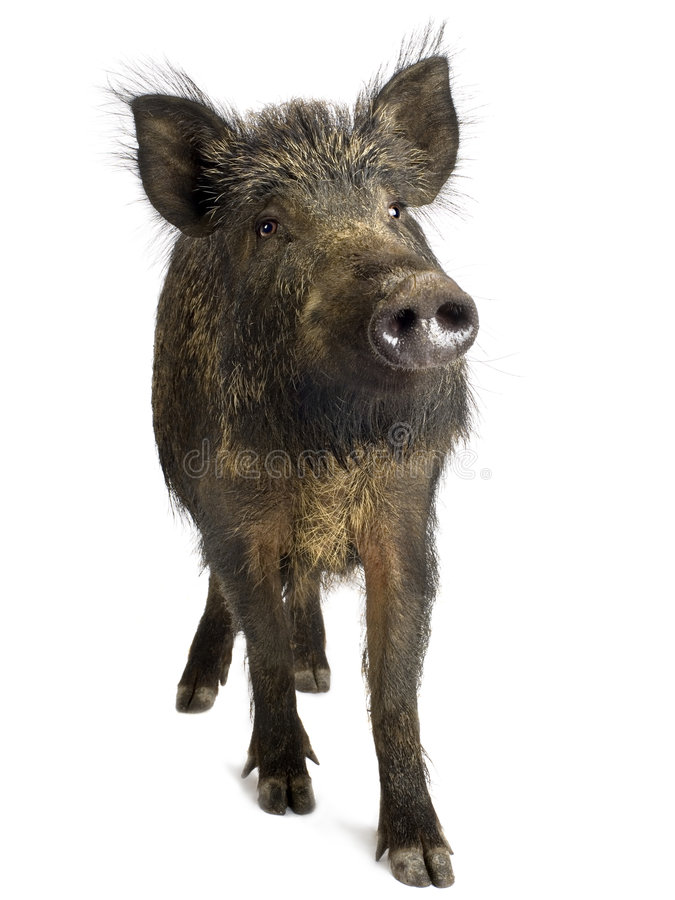 Free Wild Boar Royalty Free Stock Photography - 2780407