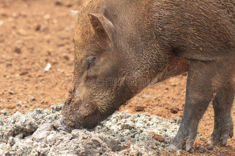 Download Wild boar stock image. Image of standing, non, forest - 28063585
