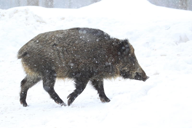 Download Wild boar stock image. Image of strolling, mammal, wild - 28538263