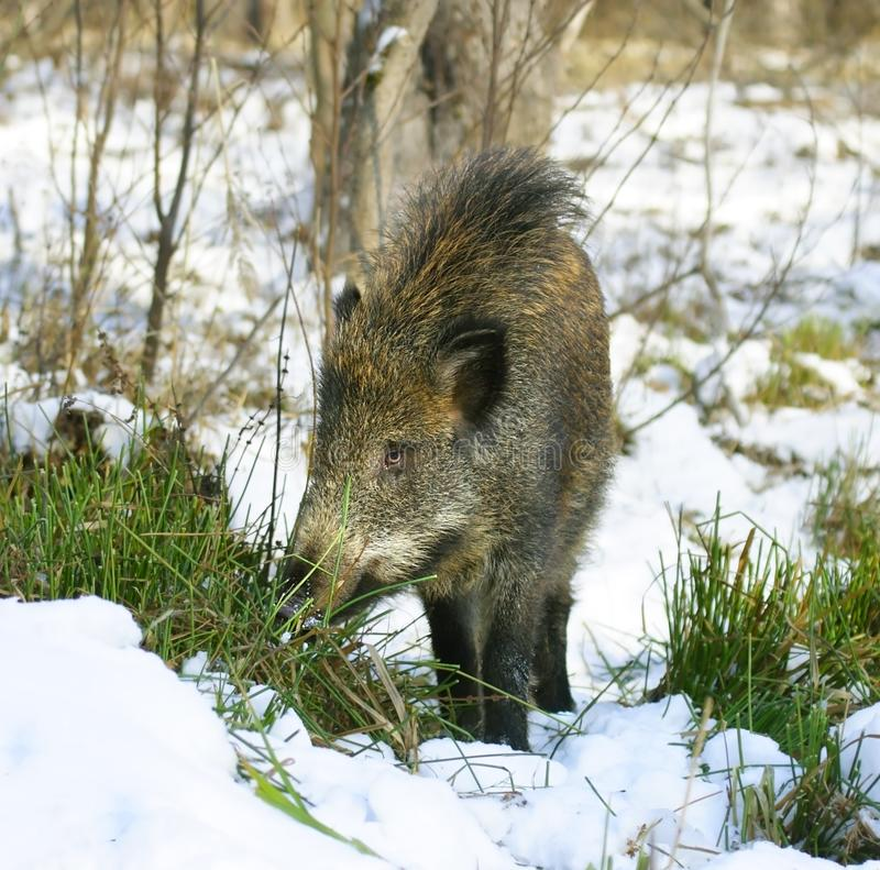 Download Wild boar stock image. Image of hair, nature, grass, winter - 4577585