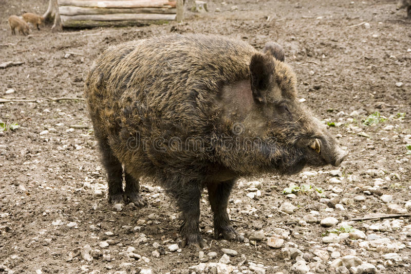 Wild boar. Adult male wild boar on brown background stock photo