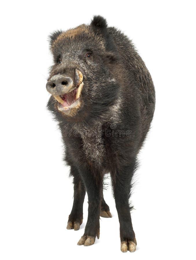 Download Wild Boar, Also Wild Pig, Sus Scrofa Stock Photo - Image: 26424460