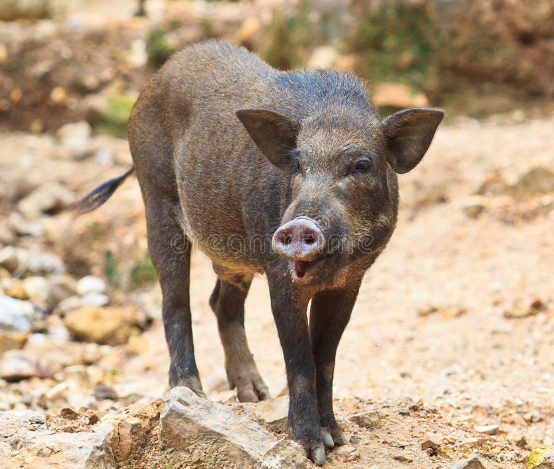 Download Wild Boar Baby Stock Image Of Cute Nice Meat