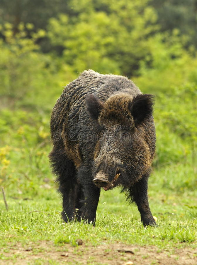 Download Wild boar on a clearing stock photo. Image of grass, green - 21667560