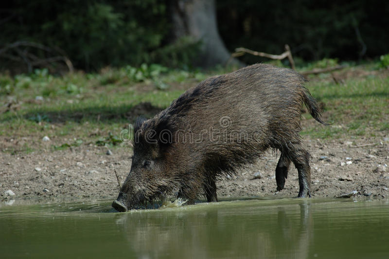 Download Wild boar is drinking stock photo. Image of green, water - 29404620