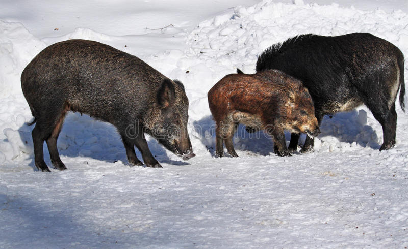 Download Wild-boar family stock image. Image of animal, mate, colours - 22936143