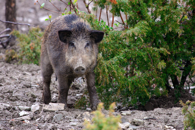 Wild boar female. In the Apennine mountains bushes, Italy. Cinghiale Oltrepo pavese Pavia stock images