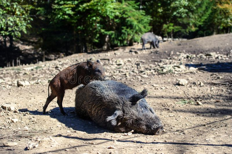 Wild boar in forest stock images